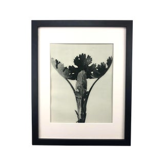 Framed Antique Photogravure Blossfeldt Botanical Print - No. 51 For Sale