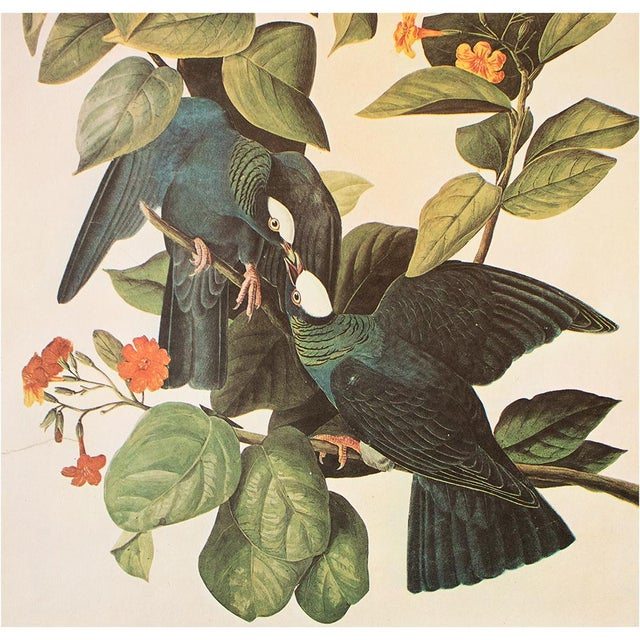John James Audubon White-Crowned Pigeon by John J. Audubon, Vintage Cottage Print For Sale - Image 4 of 8