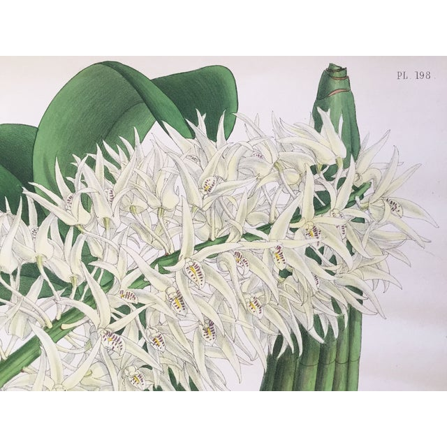"""""""Dendrobium Hillii"""" Orchid Antique Botanical Print - Image 3 of 5"""
