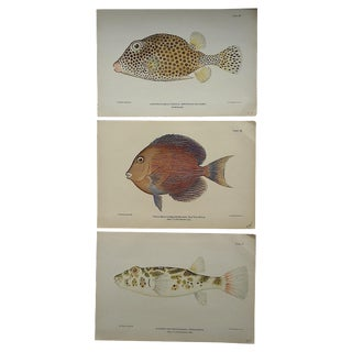 Antique Tropical Fish Lithographs - Set of 3