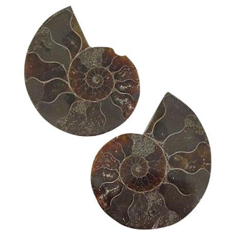 Ammonite Objets - Pair - Image 1 of 4