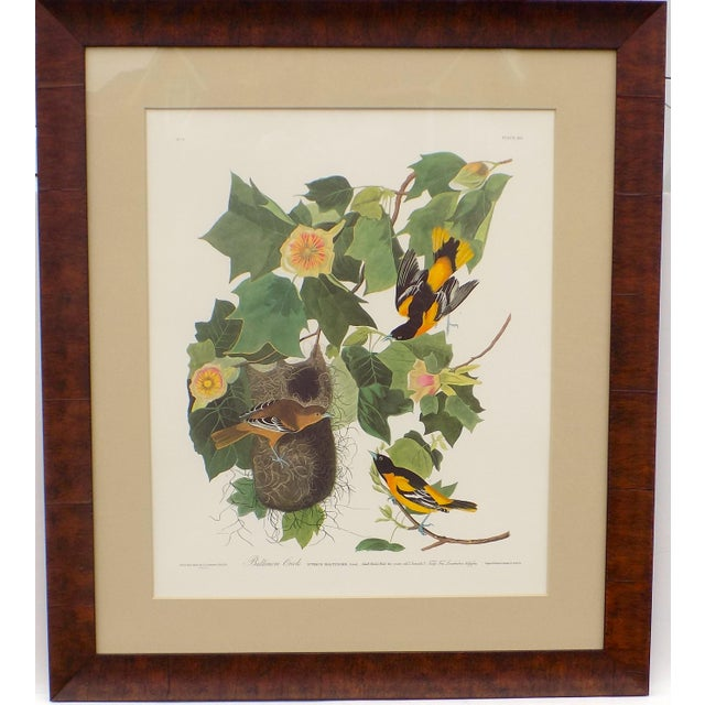Original limited edition Princeton Audubon print of Orioles (505/1500). Displayed in a wooden frame and UV protective glass.