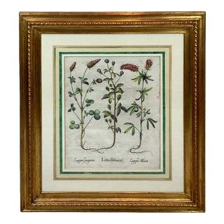 Basilius Besler, Lotus Urbana, VII For Sale