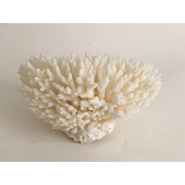 Natural White Table Coral Specimen For Sale In Los Angeles - Image 6 of 8