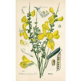 1886 Botanical Print - Scotch Broom