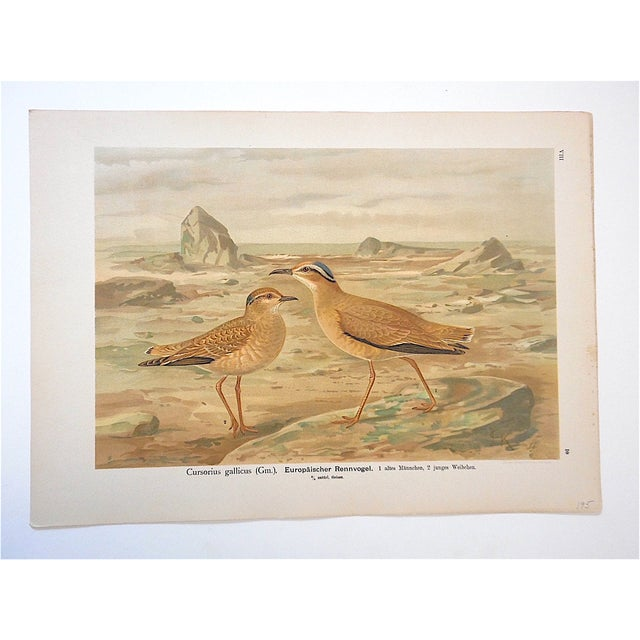 Realism Antique Bird Lithograph, Water & Shore Birds For Sale - Image 3 of 3
