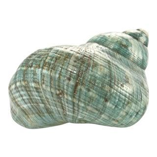 Aqua Blue Turbo Shell