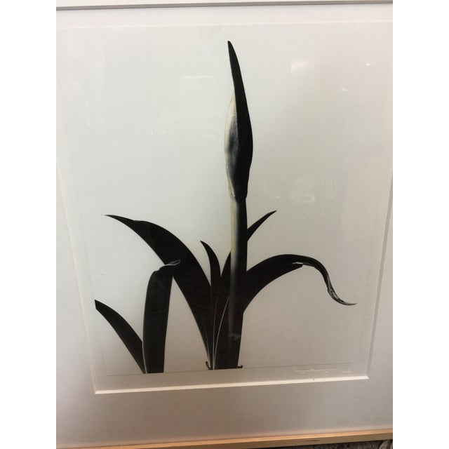 Realism Imogen Cunningham Estate Photograph Amaryllis Bud For Sale - Image 3 of 9