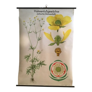 "German Mid-Century ""Yellow Buttercup"" Educational Chart Poster"