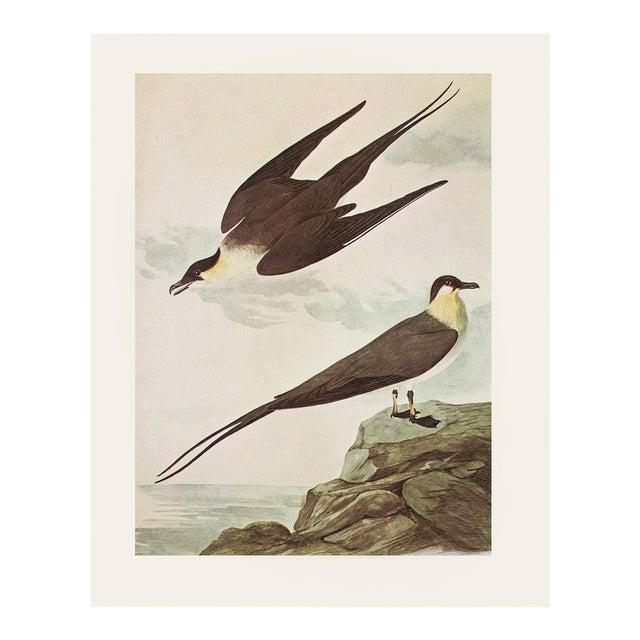 Long-Tailed Jaeger by John J. Audubon, Vintage Cottage Print For Sale
