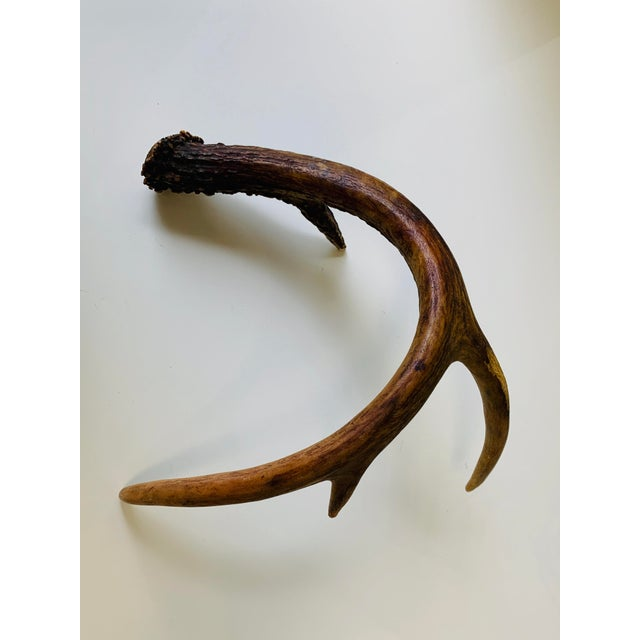 Naturally Shed Deer Antlers - a Pair For Sale In Orlando - Image 6 of 10