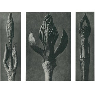 1928 Contemporary Original Photogravure N9 by Karl Blossfeldt For Sale