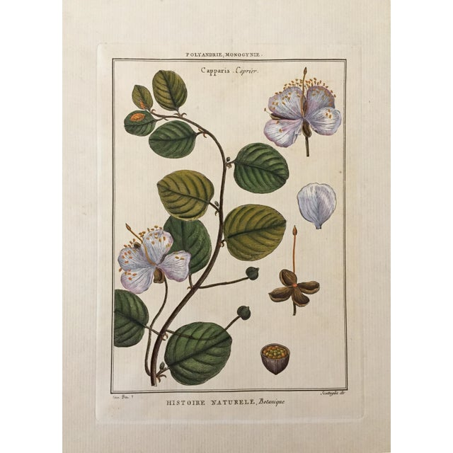 Antique Botanical Hand Colored Etching - Image 2 of 4