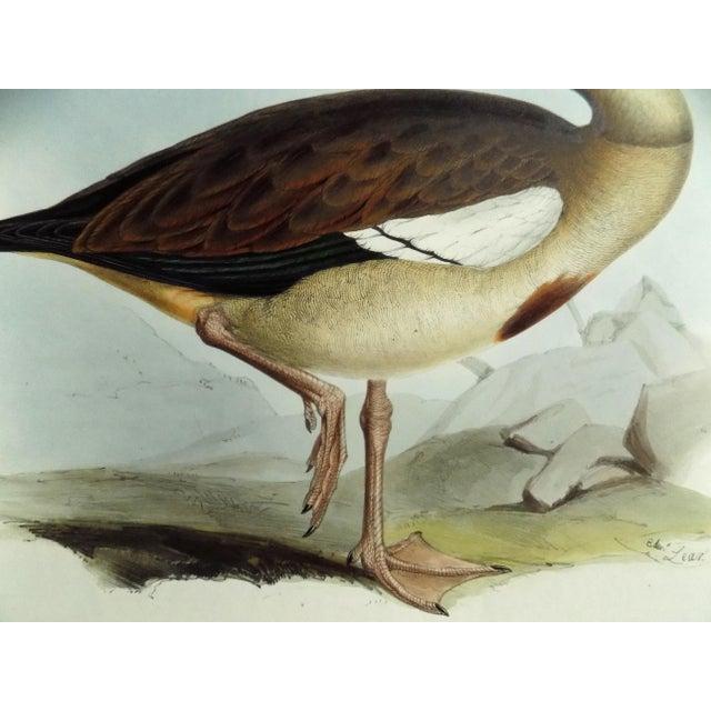 Mid 19th Century 1837 Egyptian Goose John Gould Print For Sale - Image 5 of 6