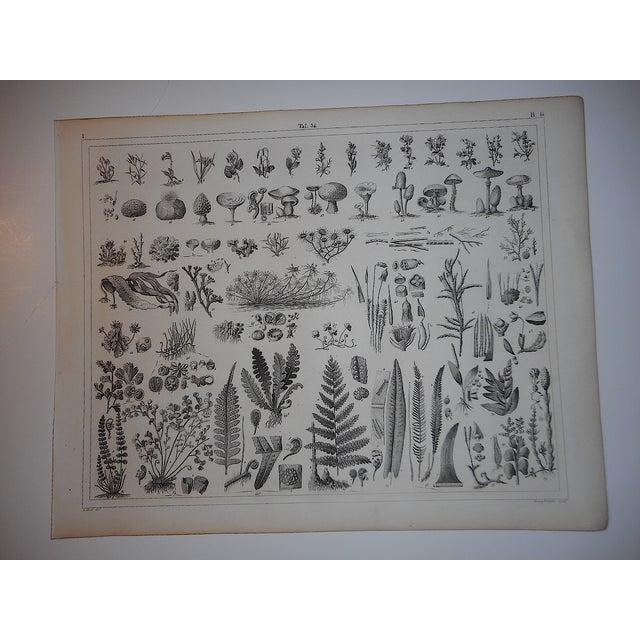 Antique Botanical Engraving - Image 2 of 3