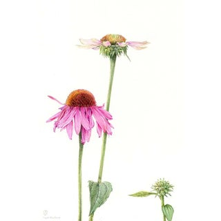 Echinacea by Stephanie Law Print on Paper For Sale