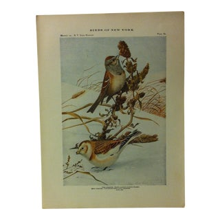 """1925 """"Tree Sparrow"""" the State Museum Birds of New York Print For Sale"""