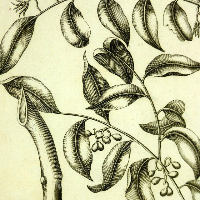 """Copperplate engraving from """"Histoire du Règne Végétal"""" by P.J. Buchoz of delicate, intricate botanicals, 1773. Displayed..."""