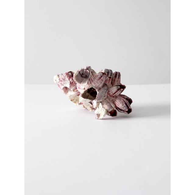 Natural Barnacle Shell For Sale - Image 5 of 7