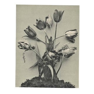 1902-French Art Photography -Botanical-Tulip For Sale