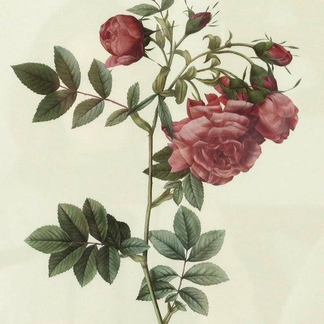 Antique Botanical Rose Print - Image 3 of 5