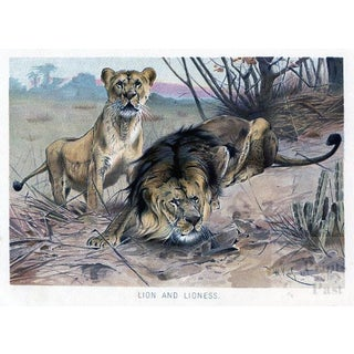 Lion and Lioness, 1890s Print For Sale
