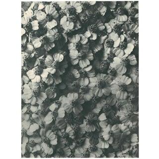 1928 Karl Blossfeldt Original Period Photogravure N114 of Achillea Millefolium Preview