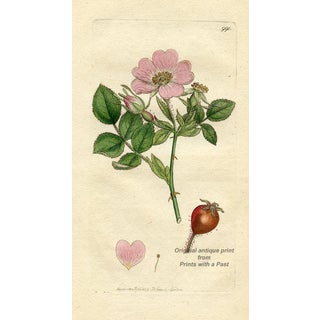 English Rose Engraving, Early 1800s For Sale