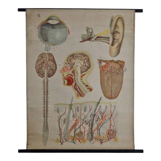 E. Hoelemann Antique Anatomical Chart For Sale