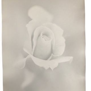 White Rose Still Life Photo by Garo For Sale