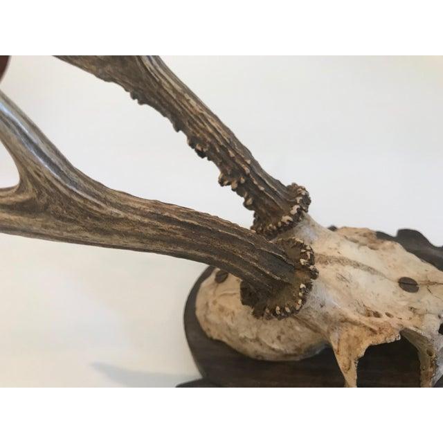 Vintage black forest antler trophy with the back design of carved leaf and branch decoration.