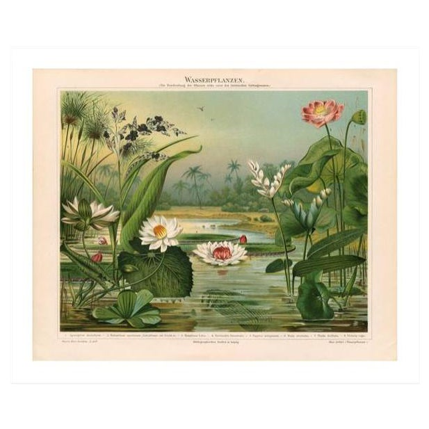 Vintage Lily Pads Archival Print For Sale