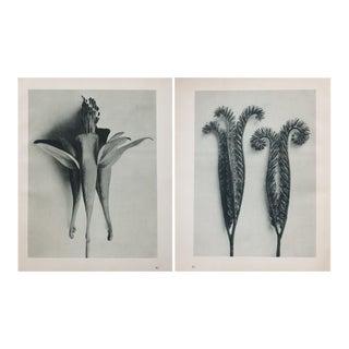 Karl Blossfeldt Double Sided Photogravure N81-82