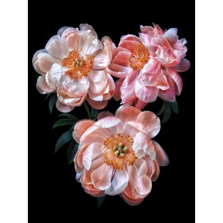 "Photographic Botanical Print, ""Peony Trio 1"" by Artist Debi Shapiro For Sale"