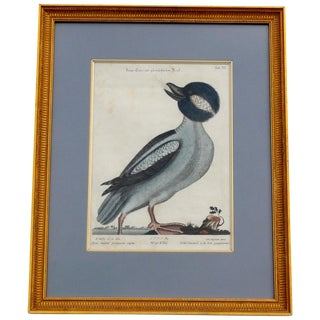 Bufflehead by Mark Catesby in 1749 For Sale