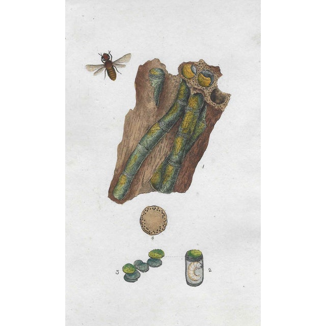 19th Century Antique Entomology Hand Colored Engraving For Sale