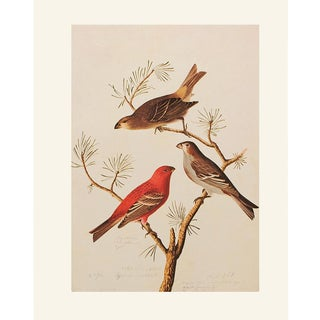 Pine Grosbeak by John J. Audubon, 1966 Vintage Cottage Print For Sale