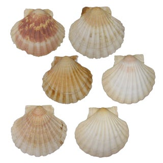 French Mediterranean Scallop Shells - Set of 6 For Sale