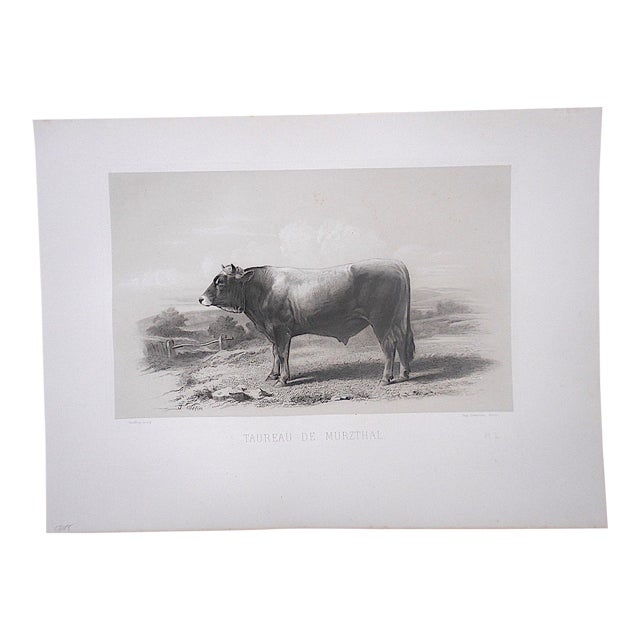 Antique Pure Bred Cattle Engraving-Large Folio For Sale