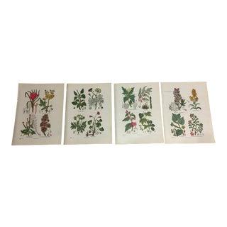 Antique Medicinal Plants Lithographs - Set of 4