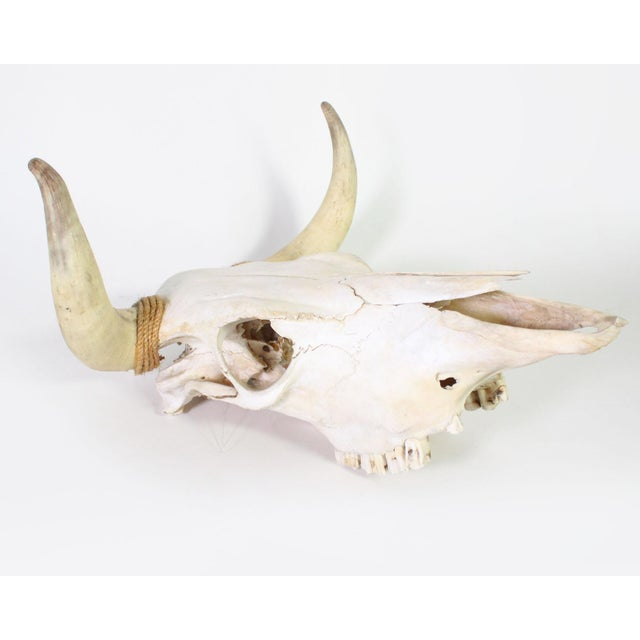 Shown is a small to mid sized California steer skull with rope detailing on the base of the horns. Most popularly seen in...
