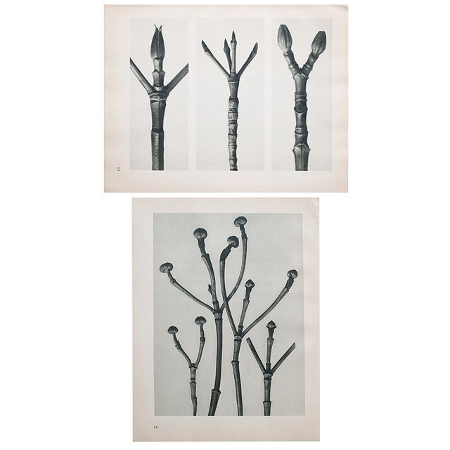 Tan 1935 Karl Blossfeldt Photogravure N15-16 For Sale - Image 8 of 9