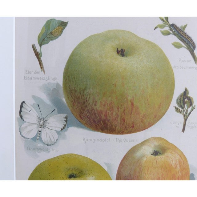 Early 20th Century European Botanical Prints of Fruit & Birds - Set of 4 For Sale - Image 5 of 7