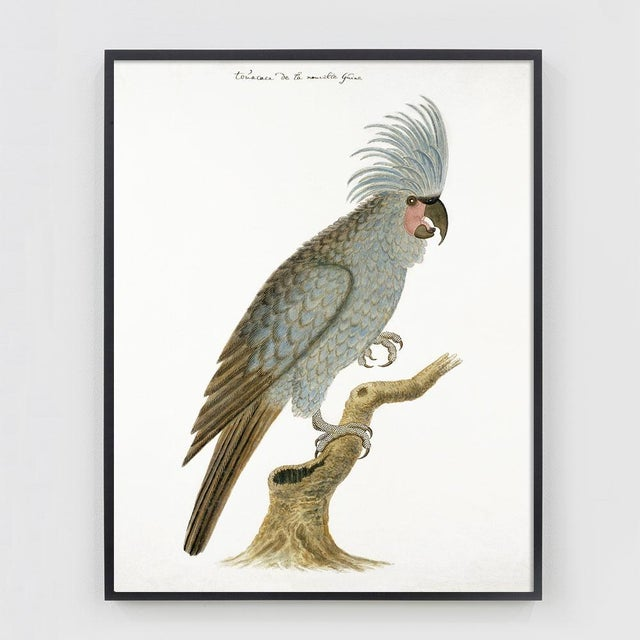 fd32623e3fdd This restored 19th Century Cockatoo print is beautifully printed on  archival 100% cotton fine art