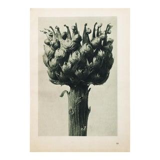 Karl Blossfeldt Photogravure N95-96, 1935