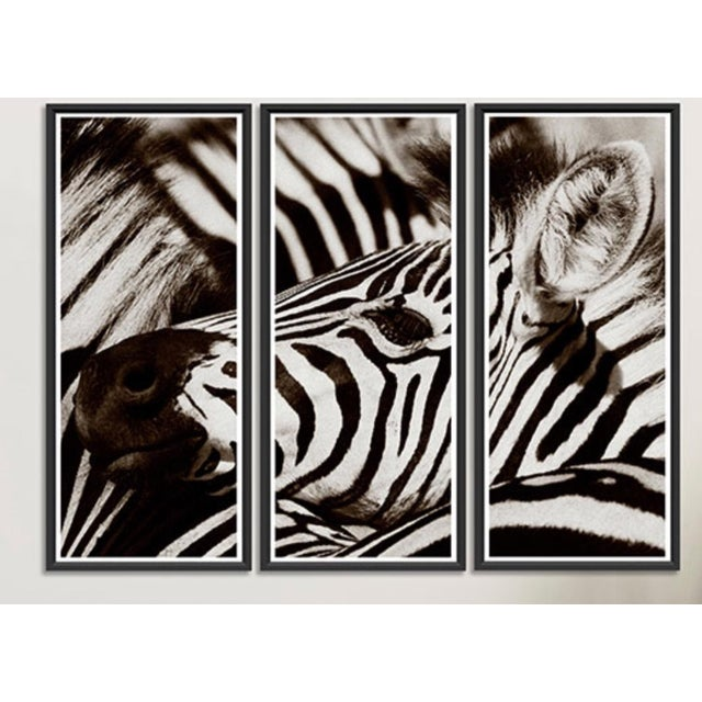 "Wood Trowbridge ""Zebra"" Photo Triptych by Jamie Thorn Set of 3 For Sale - Image 7 of 7"