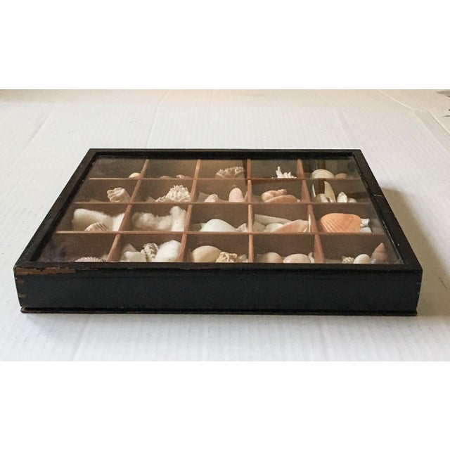 Antique Seashell Collection Shadowbox - Image 7 of 8