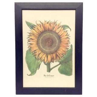 Flos Solismaior Sunflower Lithograph For Sale