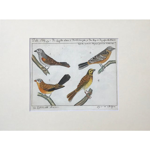 An original rare antique watercolor painting of birds an ornithological study by Carl Linnaeus c. 1776. With notations and...