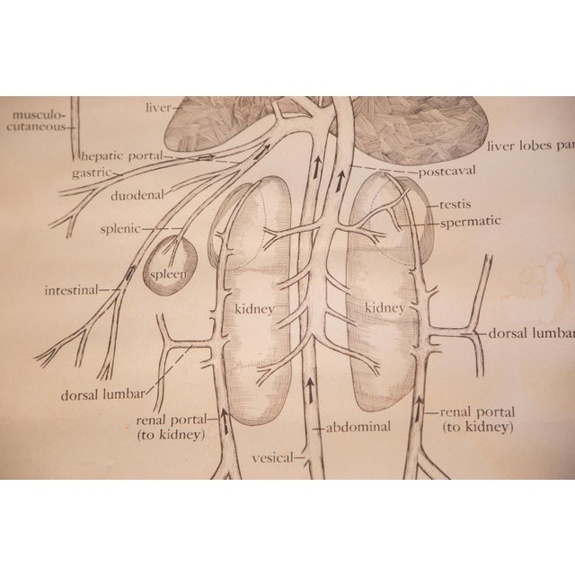 Pull Down Chart of Frog Circulatory System - Image 6 of 7